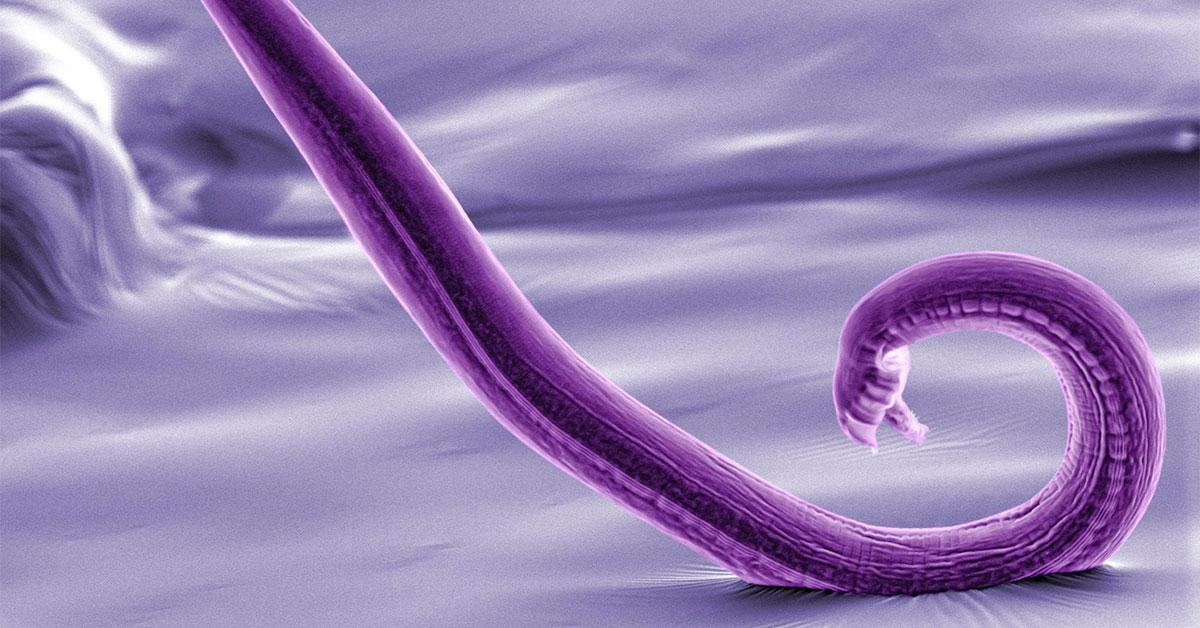 Scientists have mapped the entire nervous system of a roundworm called C. elegans