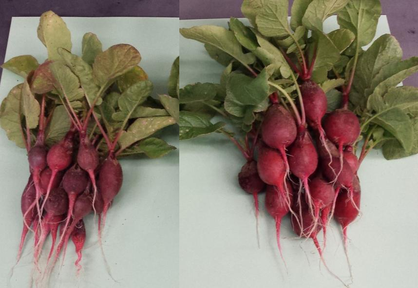 The radishes on the right were fed fertilizer created by the bionic leaf, and are noticeably larger than the control group on the left