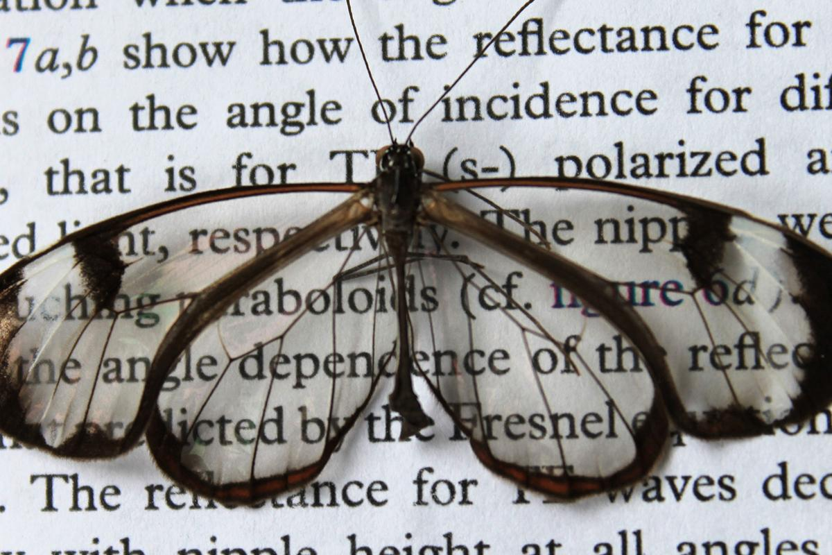 The wings of the glasswing butterfly reflect hardly any light (Image: KIT/ Radwanul Hasan Siddique)