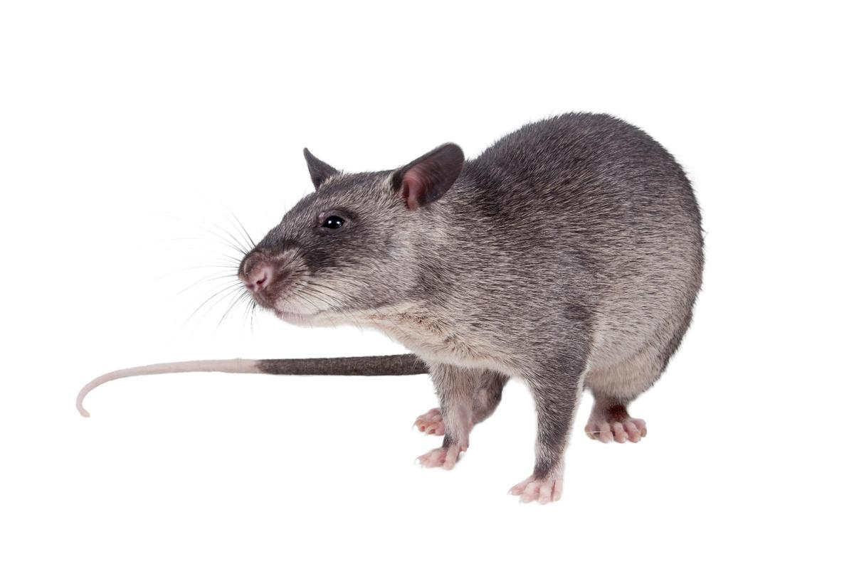 The rats were found to be more effective than a standard smear test, at detecting tuberculosis