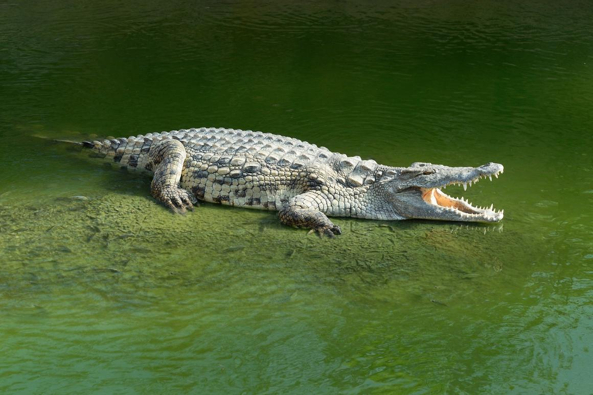 The longest alligator study to date actually isn't the first time so-called determinant growth has been documented in the animals