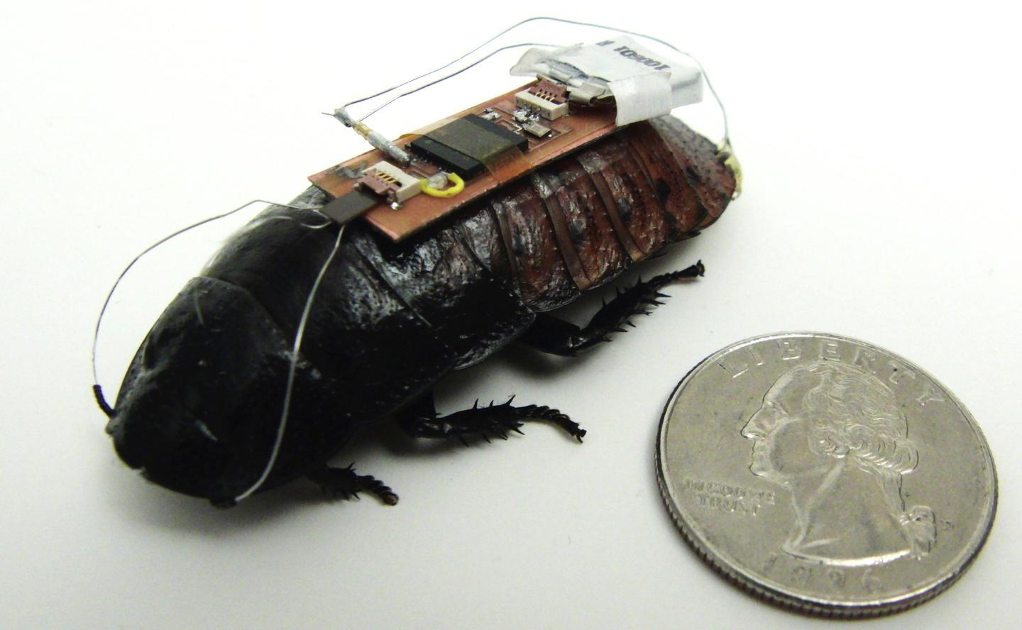 "One of the ""backpack""-equipped remote-control Madagascar hissing cockroaches"