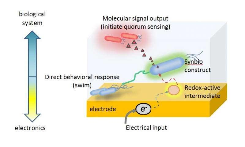"""Researchers have created a patent-pending device that enables them to electronically """"switch on"""" gene expression in certain bacterial cells."""