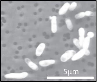 The GFAJ-1 bacteria, grown on phosphorous