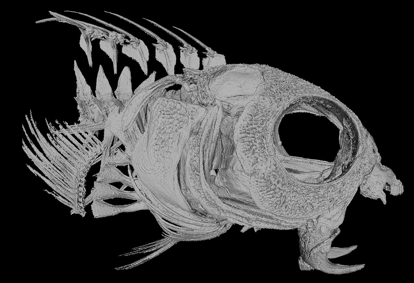 Close up of the skull of the Meiacanthus nigrolineatus, a member of the venomous fang blenny brigade