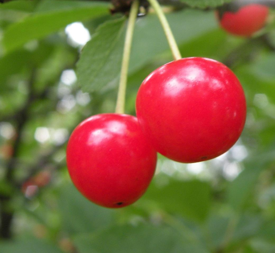Montmorency is the most common variety of tart cherry grown in the US