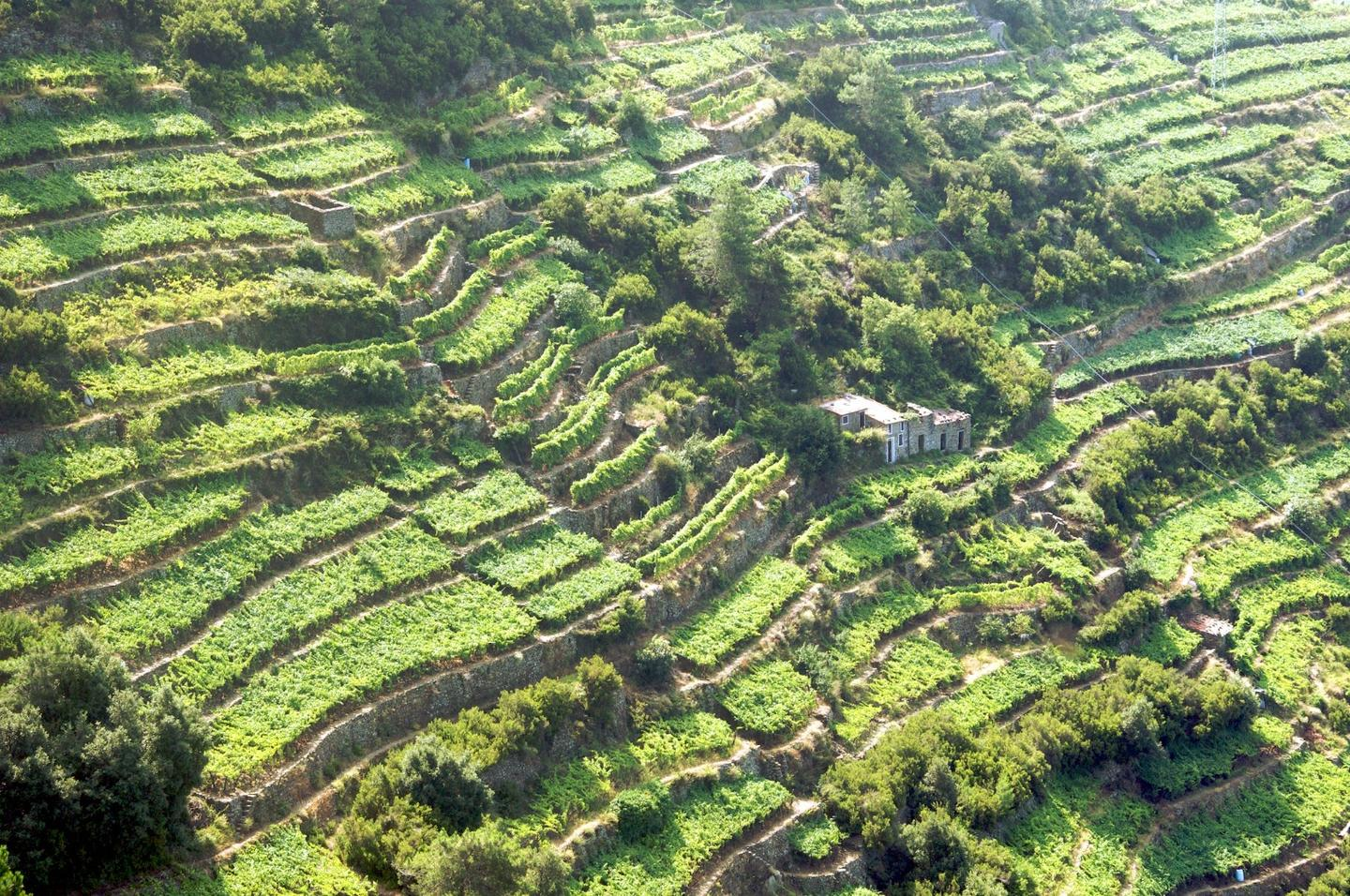 Terrace farming in Liguria, Northern Italy