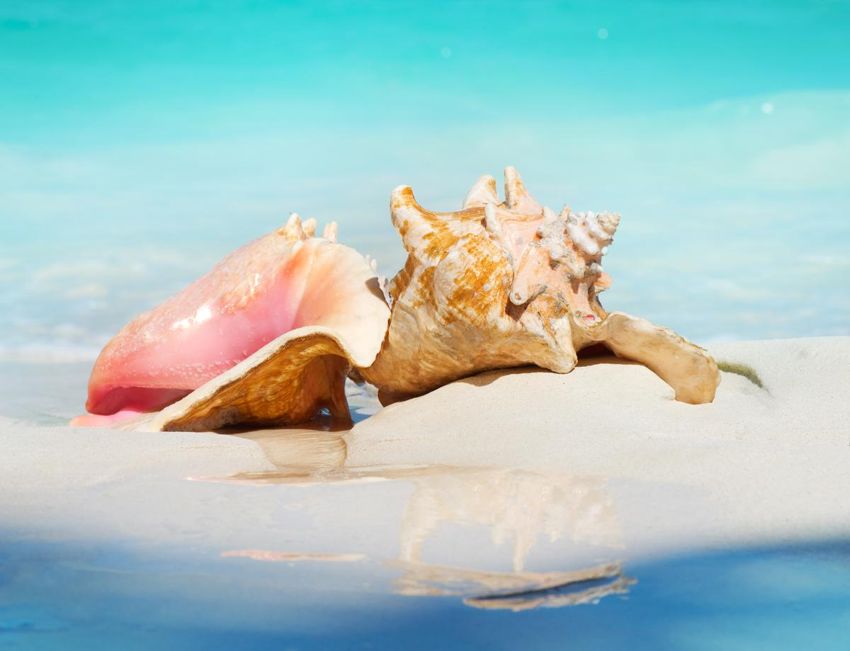 Conch shells may be pretty, but they're also tough