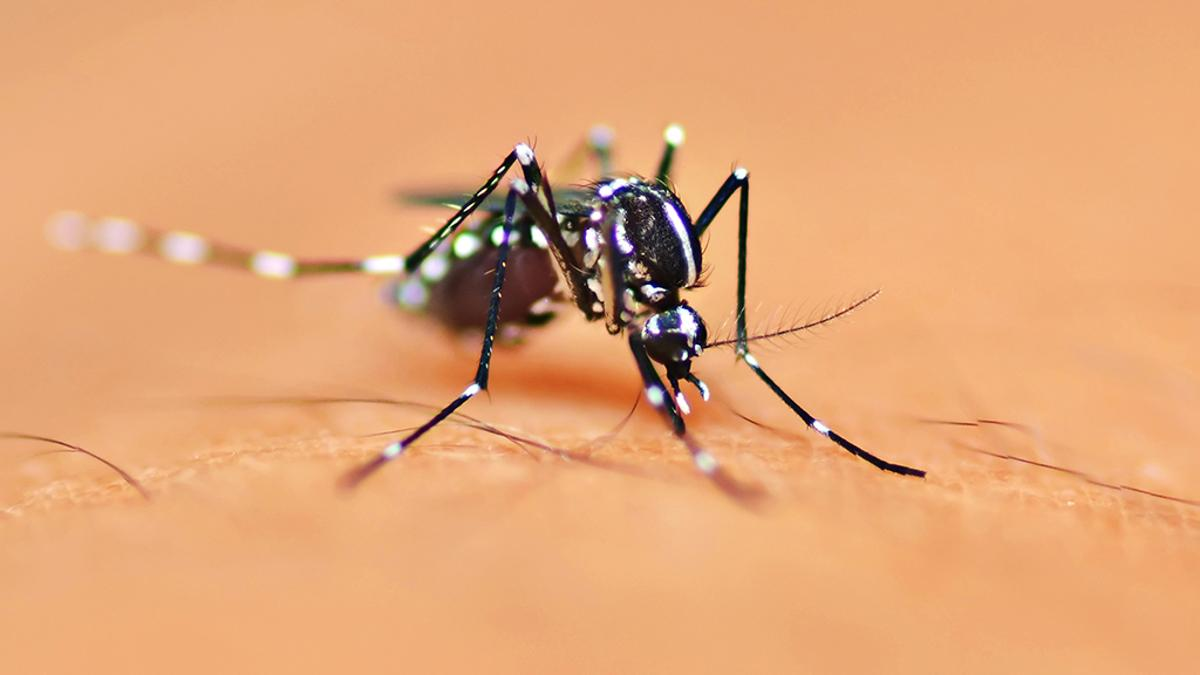 Using genetic engineering to alter the Aedes aegypti mosquito's sense of smell could reveal how and why they are attracted to humans (Photo: Shutterstock)