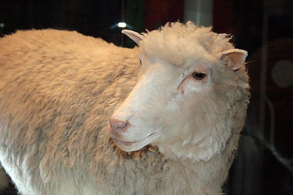 Dolly the first cloned mammal (Photo: Toni Barros via Wikipedia CC 2.0)