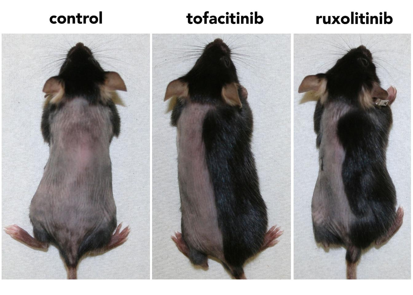 Within three weeks, mice treated with the enzyme inhibitors had regrown nearly all their hair (the drugs were applied to only the right side of the mice)