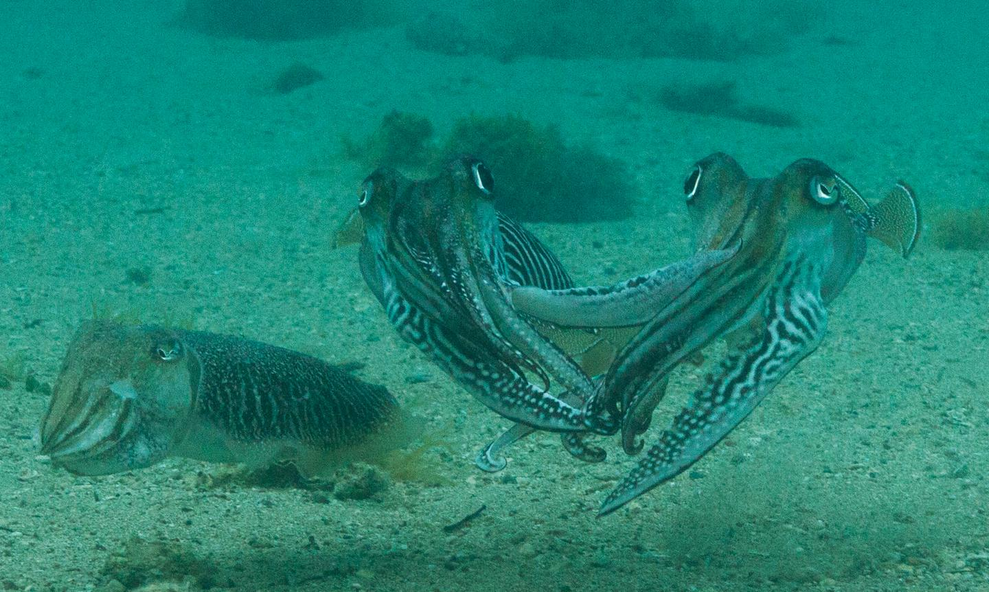 Hands off: for the first time, researchers have captured footage of how vicious male cuttlefish can be when it comes to protecting their mate (left) from intruders