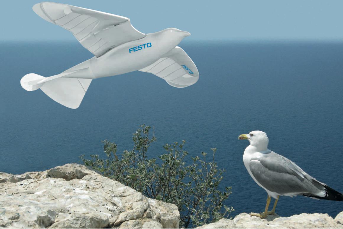 Festo's SmartBird robotic seagull and its herring gull inspiration