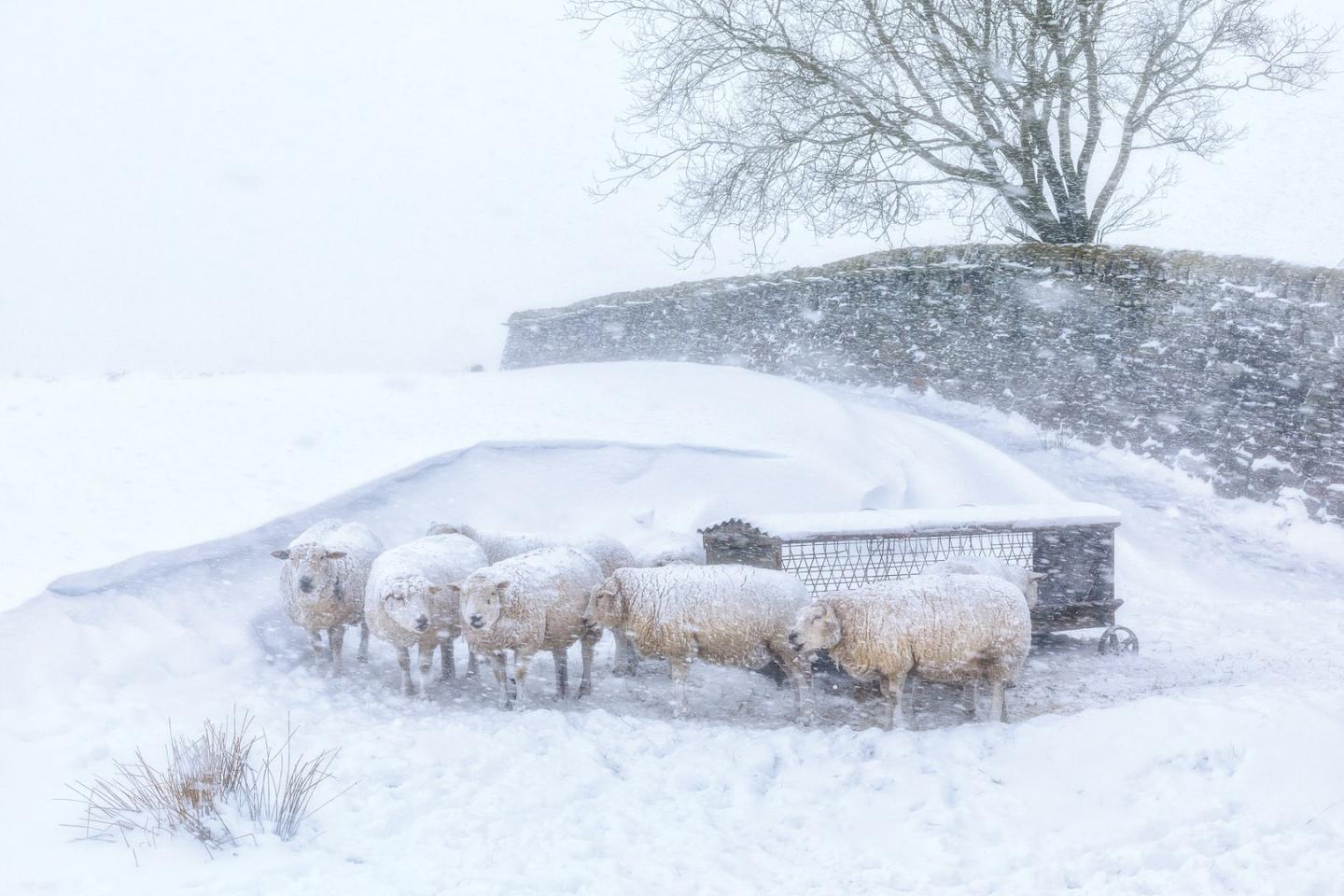 Overall Winner and Light on the Land – Winner, Robert Birkby (UK). Near Hebden Bridge, West Yorkshire, England. Much of the higher ground in the South Pennines is relatively featureless, but these sheep had found shelter between a snowdrift and dry stone wall.