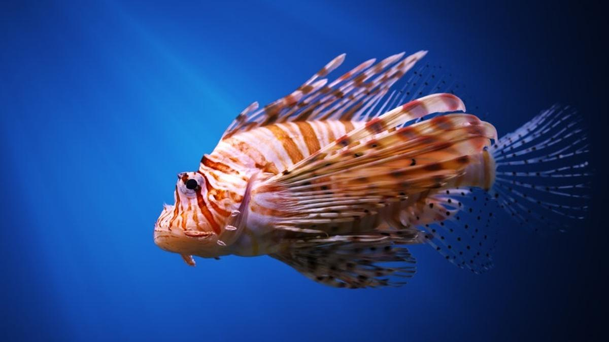 Genetics help to identify the origins of the lionfish that are devastating warm American waters