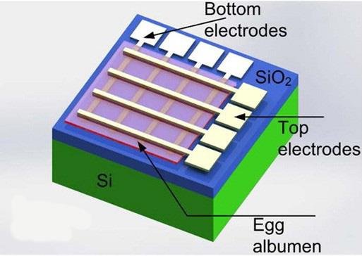 The memristor chip featuring egg albumen wedged between electrodes made from tungsten and magnesium