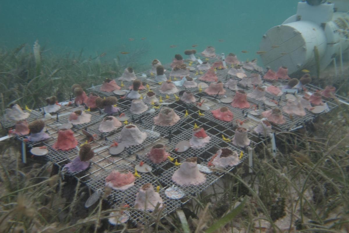 The team observed coral fragments over the course of a two-year field study