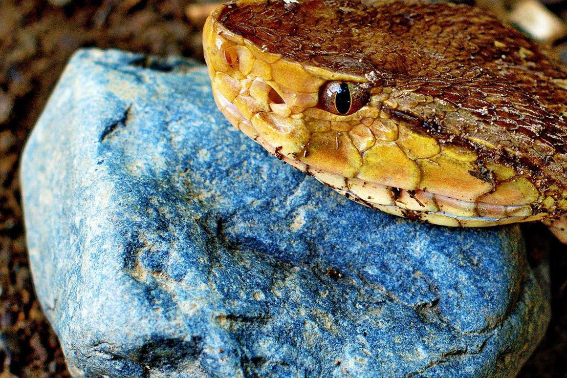 Snake venom shapes as antidote for Alzheimer's