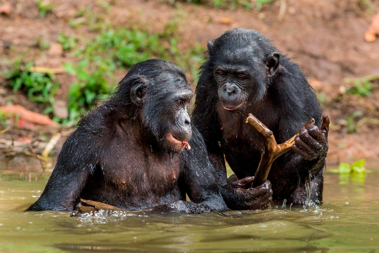 Bonobos will help out other bonobos that they don't even know, without being asked