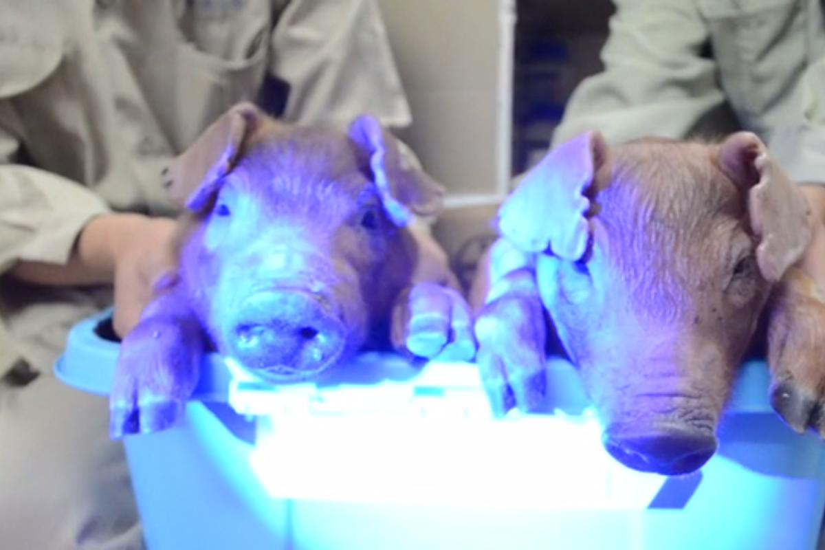 Scientists have created piglets that glow green under a black-light (see the video below)