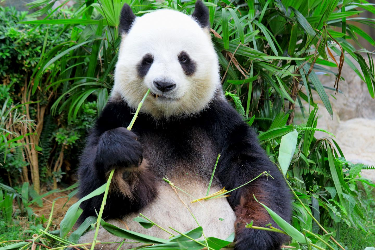 The team suggests that pandas evolved their two-tone appearance due to their poor diet of bamboo