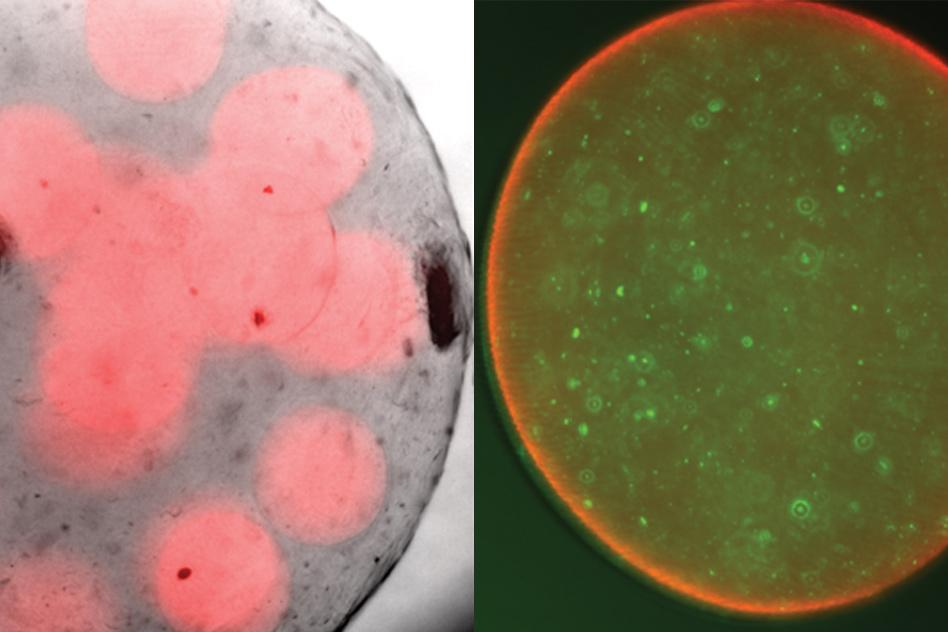 Left, probiotics (red) wrapped in a protective bubble of alginate, and right, a close-up of one sphere with the good bacteria tagged green
