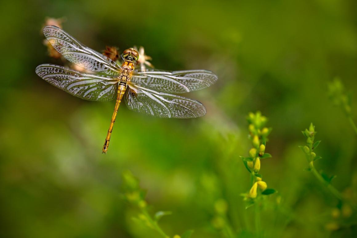 Dragonfly brains could serve as models for more efficient missile defenses