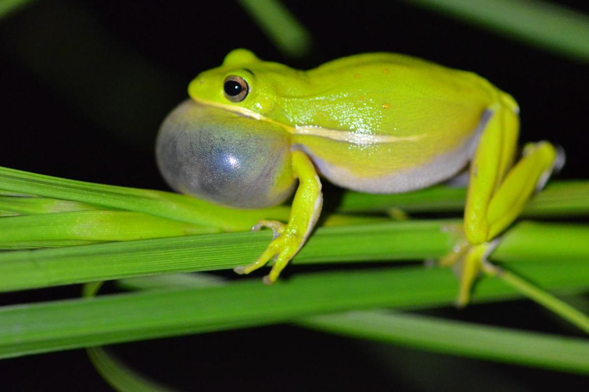 By filling their lungs with air, female American tree frogs are better able to distinguish the mating calls of males of their species (pictured)