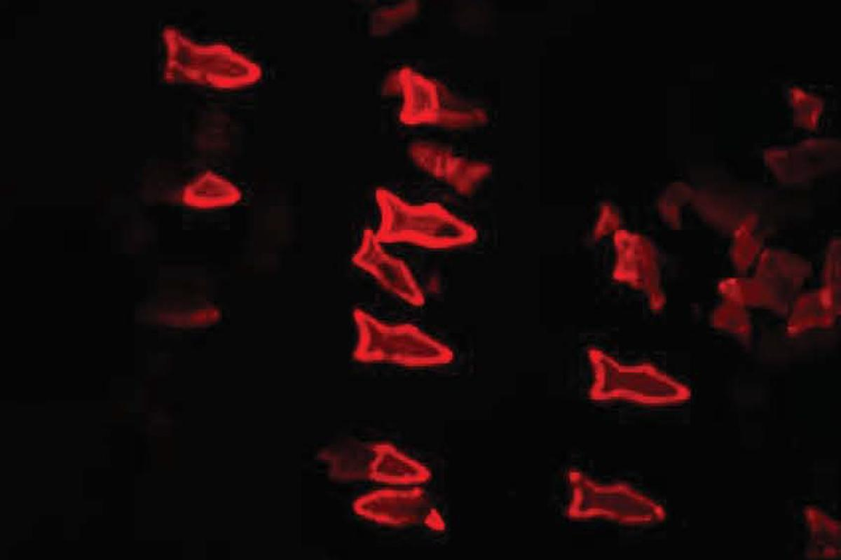 As PDA nanoparticles in the microfish bodies bind with toxins, the microfish turn fluorescent red