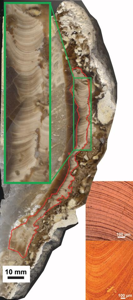 A cross-section of the bivalve shell, highlighting the layers