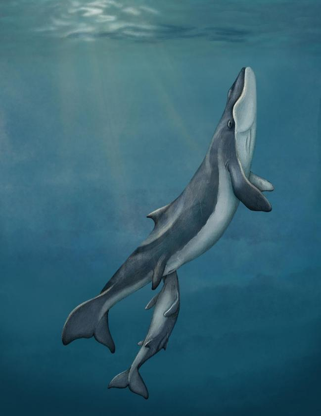 An illustration depicting what Maiabalaena nesbittae may have looked like