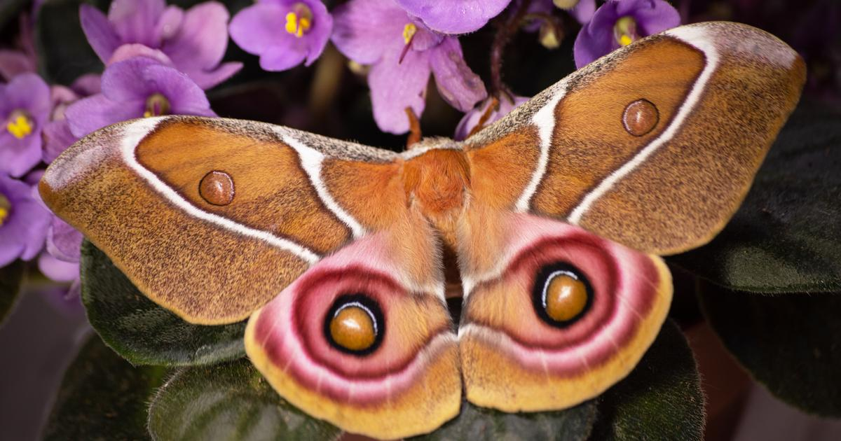 Deaf moths use commercial-grade noise-cancelling to dodge hungry bats