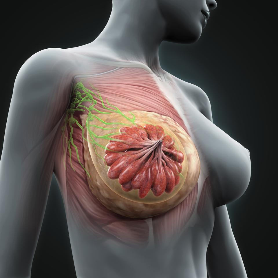 Research into how breast tissue regeneration is regulated has shed new light on the ageing process Shutterstock