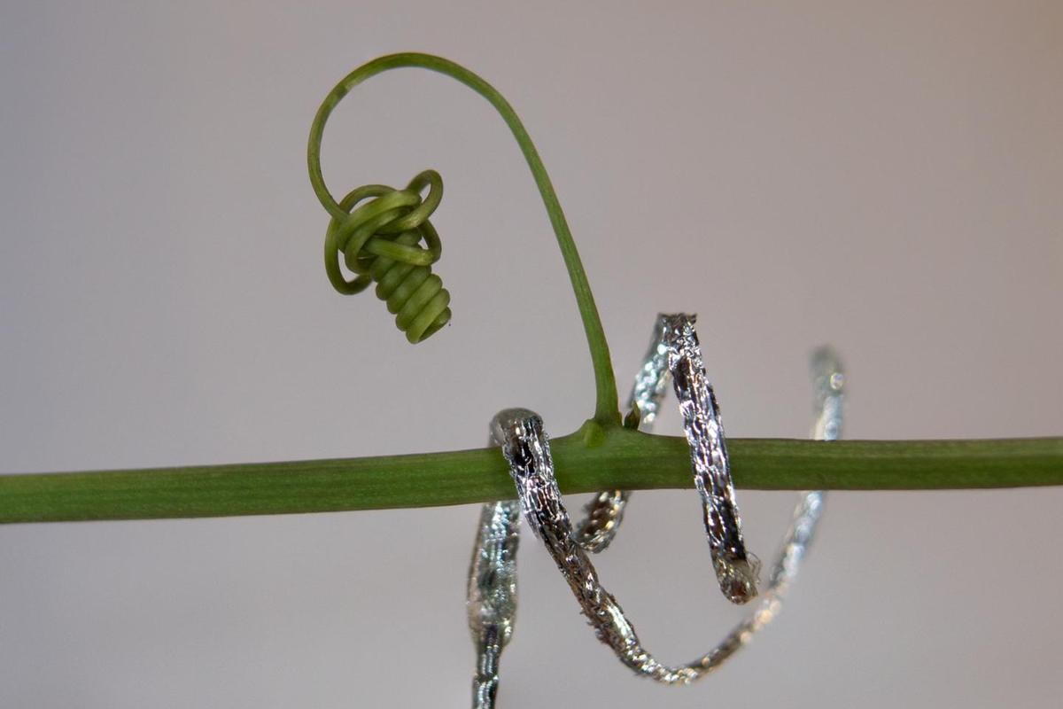 Italian researchers have developed a soft robot that climbs and curls like a plant tendril