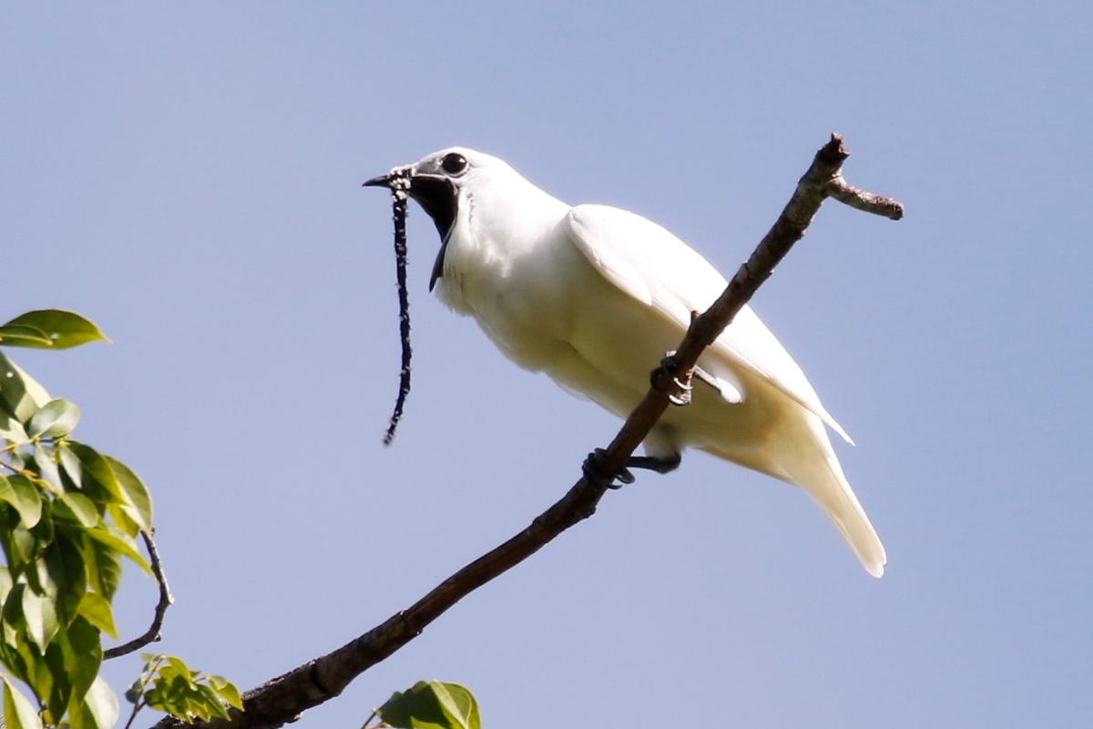 A male white bellbird belts out his ear-splitting song, which has now been confirmed to be the loudest bird call ever recorded
