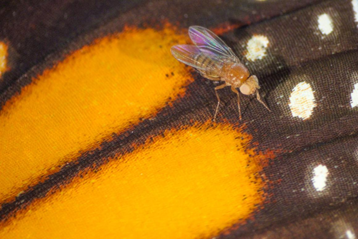 A fruit fly on the wing of a monarch butterfly