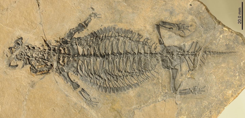 The fossilized Eusaurosphargis dalsassoi skeleton
