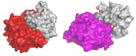 Left: Natural control mechanism blocks the enzyme's zinc active site Right: Novel antibody works as effectively as the natural control mechanism (Image: Weizmann Institute of Science)