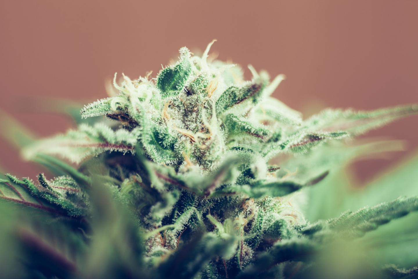 Marijuana with THC levels above 10 percent has been associated with greater incidences of psychotic episodes