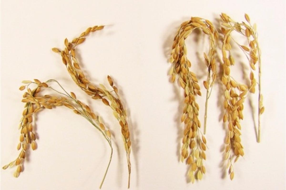 SUSIBA2 (right) compared with a control strain