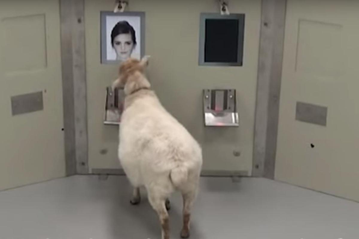 Sheep were able to select the faces of celebrities from a random queue of images with a high rate of success
