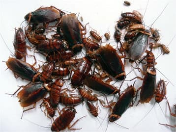 The all-female cockroach colony that spawned from the 15 females that Japanese researchers placed together in a container