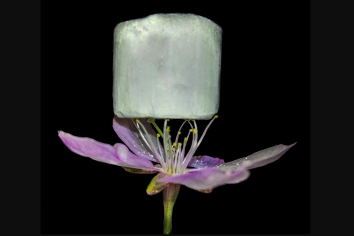 A piece of the lightweight material, resting on a flower – it is claimed to be more eco-friendly and effective than current carbon-capture technologies, such as amine compounds suspended in liquid solutions