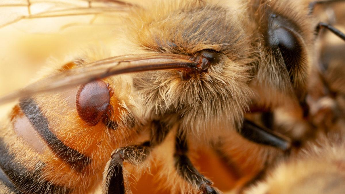 A honeybee with a parasitic Varroa mite attached to its back