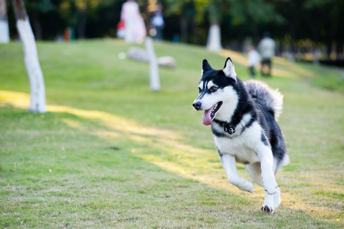 The researchers used an Alaskan Malamute to train its AI
