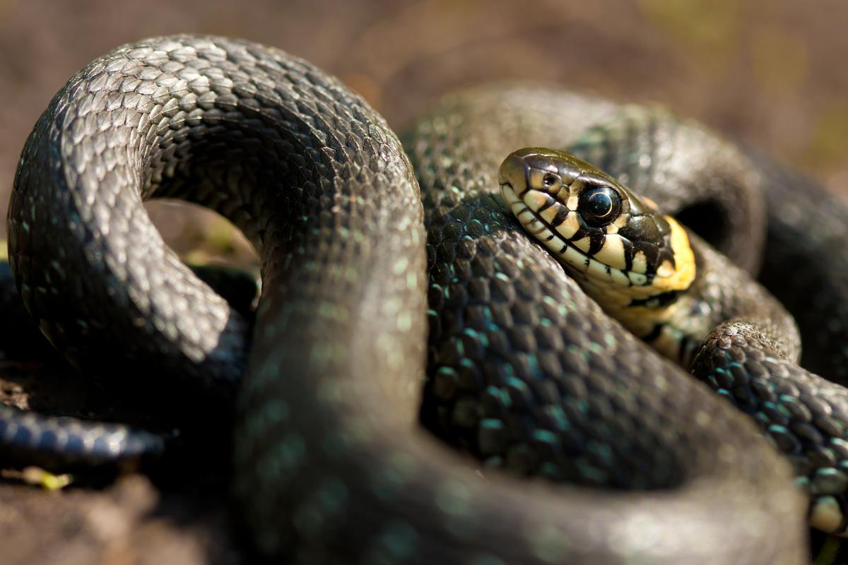 A new battery design takes after the scaly nature of snakeskin to bend and stretch