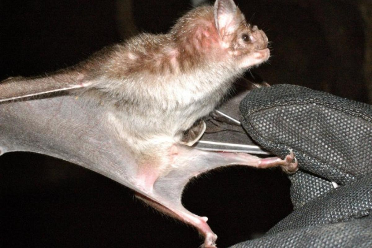 A peptide found in the venom of vampire bats may translate into a new class of blood-pressure regulating drugs
