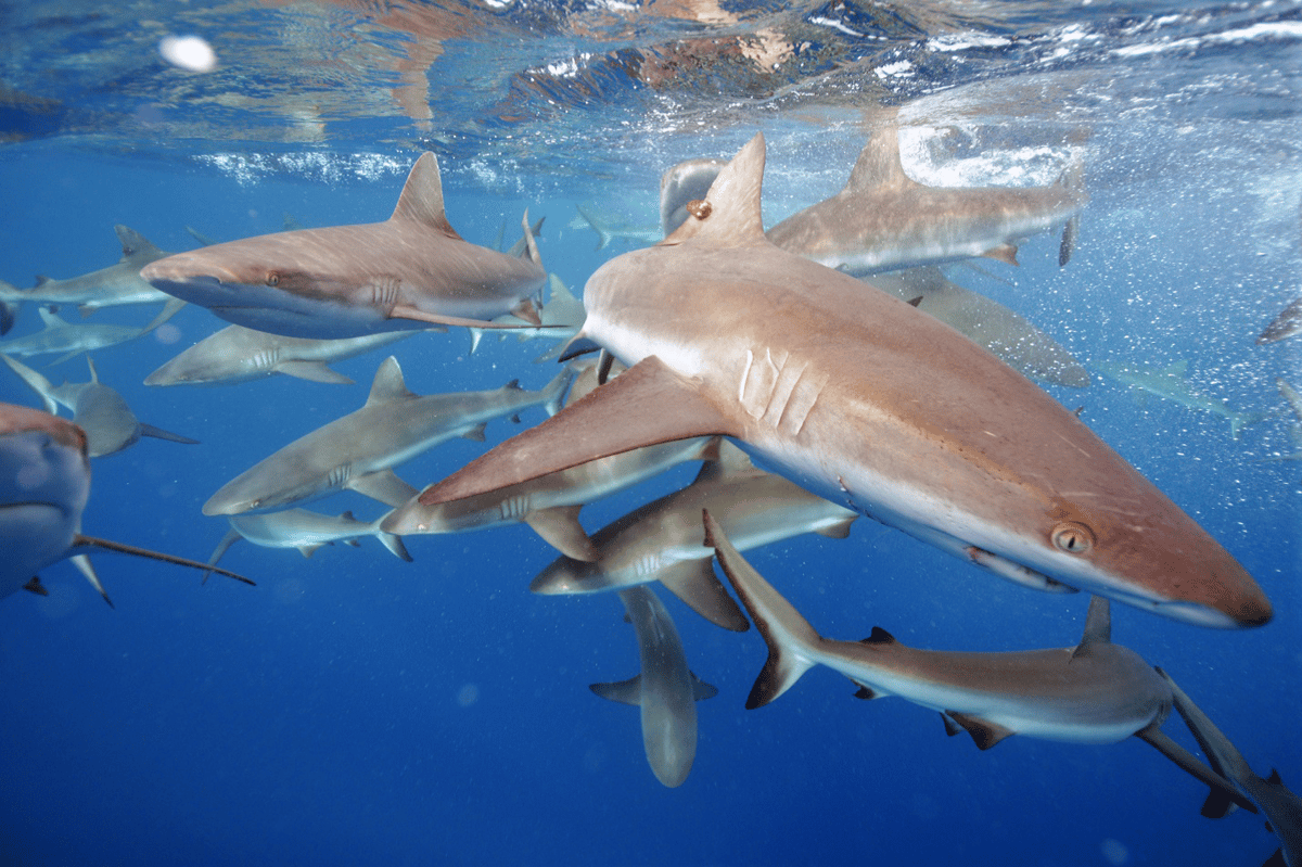 The grey reef shark, a focus of the Stanford University study, isone of the most common reef shark species found in the Pacific Ocean