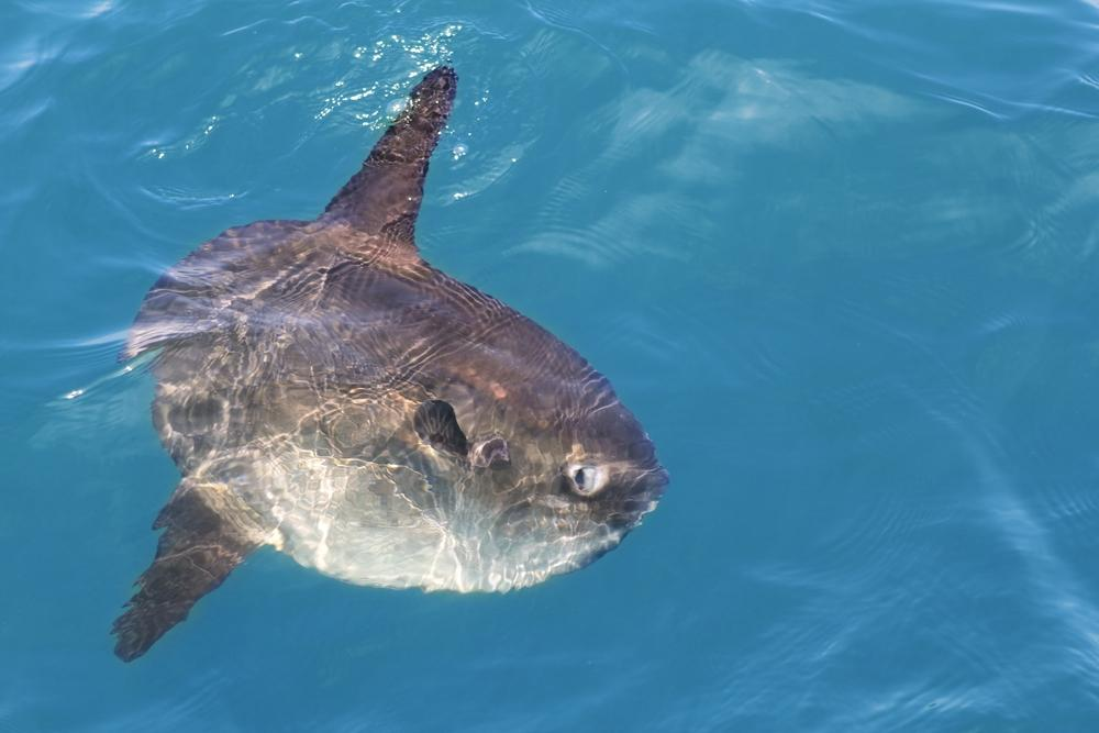 A real-life mola, basking in the sun (Photo: Shutterstock)