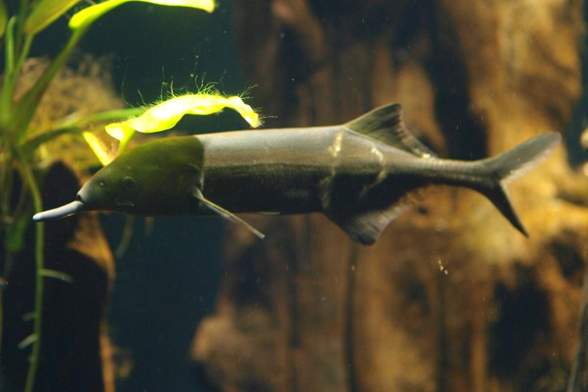 The elephantnose fish actually has a long chin, which it uses to detect its own electrical signals